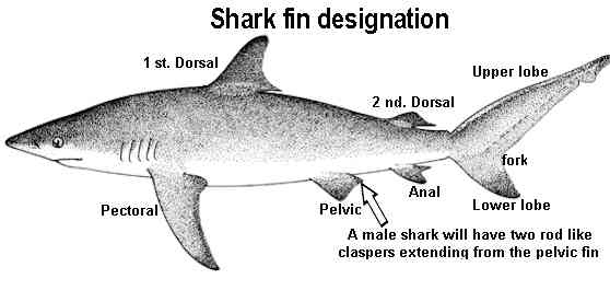 What is a sharks anal fin